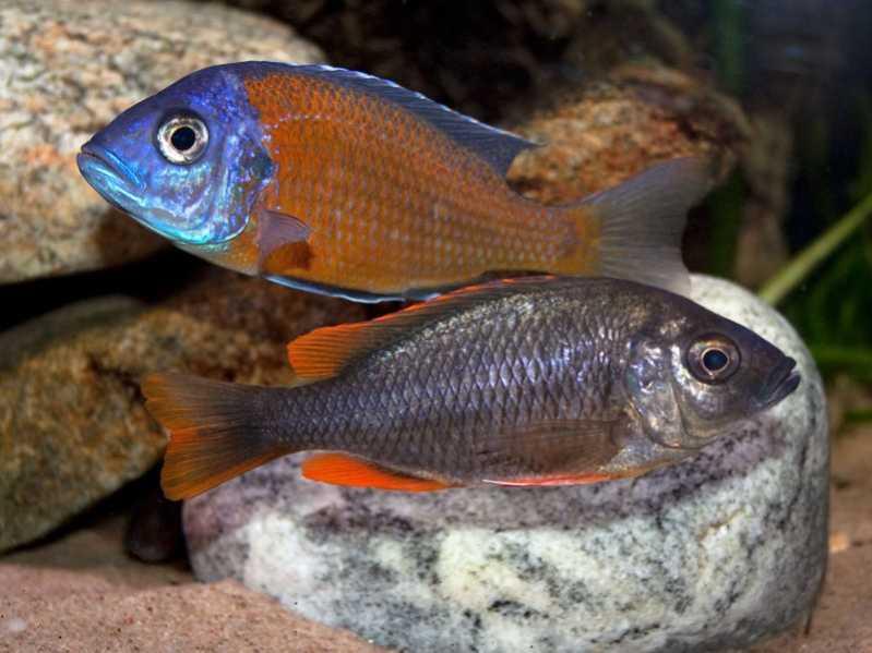 Хаплохромис каданго самец и самка