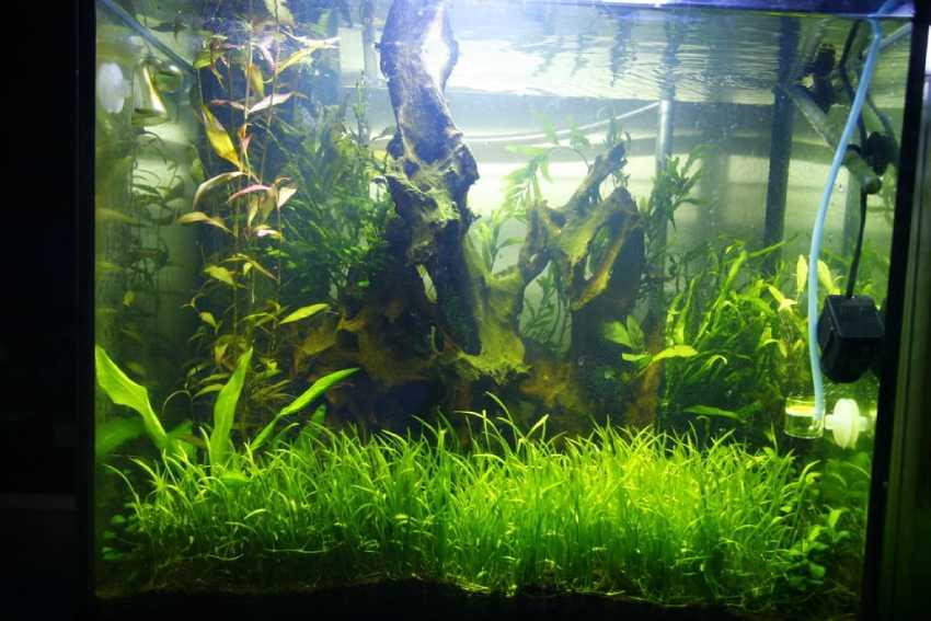 Лилеопсис бразильский: почвопокровные аквариумные растения