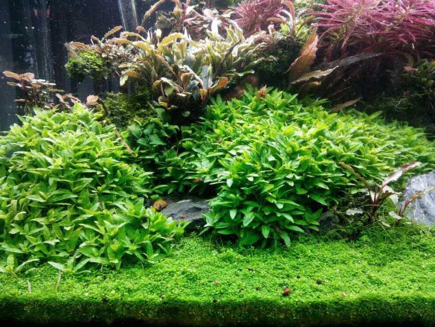 Содержание стаурогина репенса в аквариуме