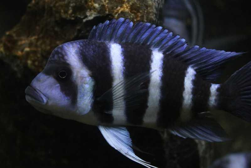 """Фронтоза Блю Самба (Cyphotilapia frontosa """"Sambia"""", """"Blue Sambia"""", """"Samazi"""") отличается высоким туловищем и горизонтальной полосой от глаза до глаза."""