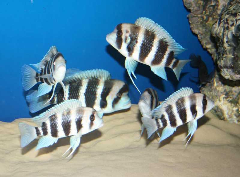 Фронтоза Бурунди в аквариуме