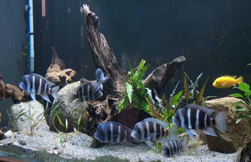Совмесимость цифотиляпии с другими рыбками