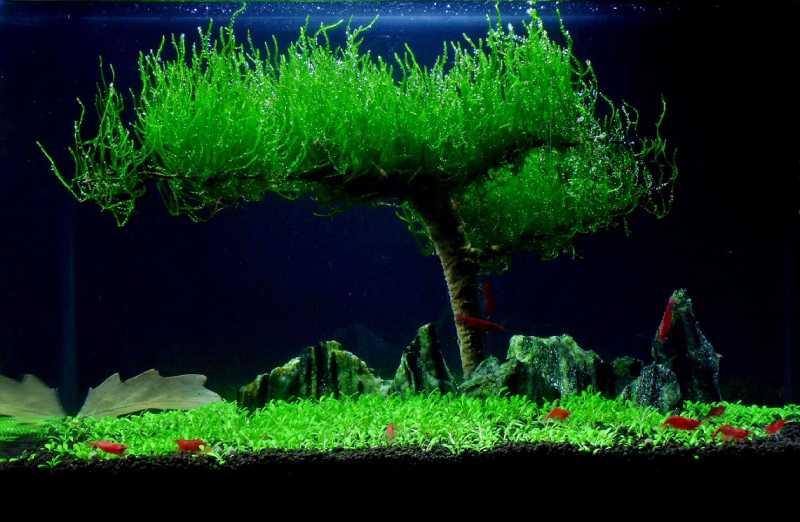 """Taxiphyllum """"Flame Moss"""" на коряге. Оформление аквариума"""