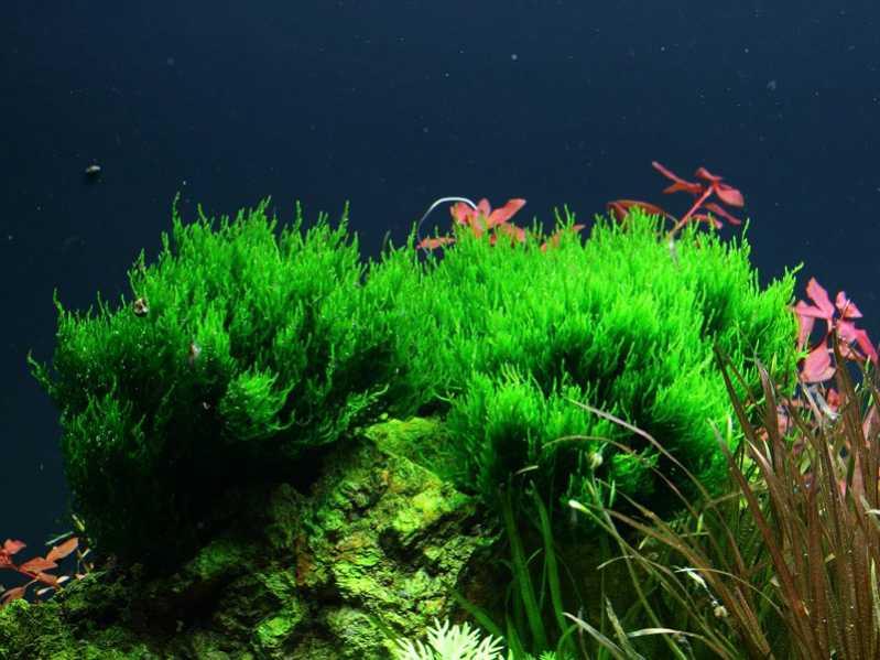 Мох пламя - любимец аквариумистов со всего мира. Несмотря на то, что растение неприхотливо, все же ...