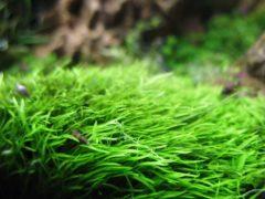 Утрикулярия граминифолия (Utricularia graminifolia)