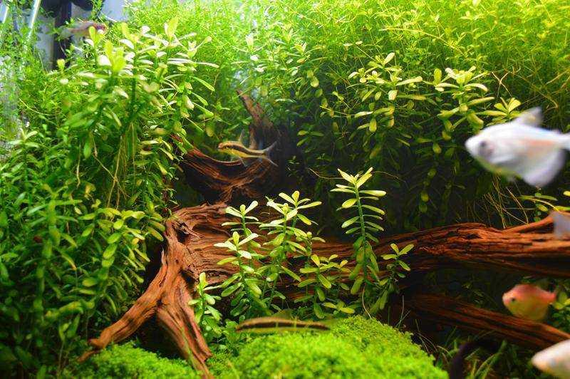 Гедиотис Зальцмана, размножение растения