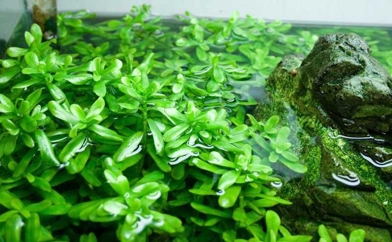 Хедиотис Зальцмана (Hedyotis salzmannii):описание, содержание в аквариуме