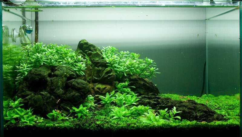 Оформление аквариума. Хедиотис Зальцмана