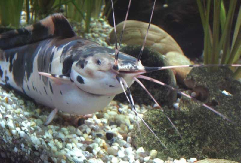 Сом Клариус (Клариас) в аквариуме
