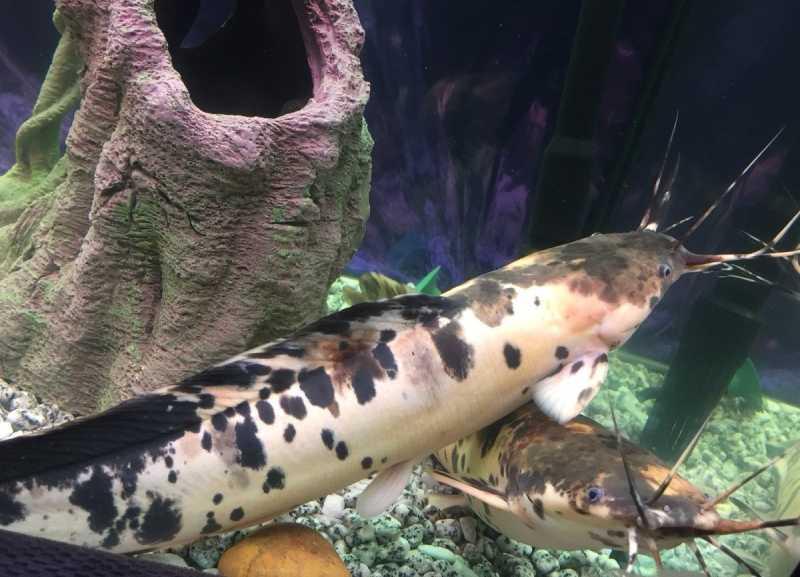 Совместимость Клариусов в аквариуме