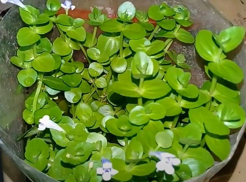 Круглолистная или ротундифолия (Lindernia rotundifolia)