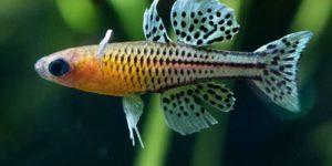 Псевдомугил: содержание в аквариуме, виды, размножение