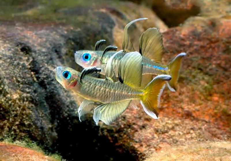 Псевдомугилы, отличие самки от самца