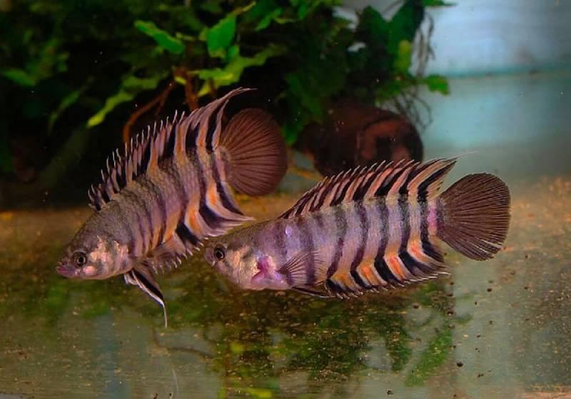 Ктенопома: лабиринтовые рыбки