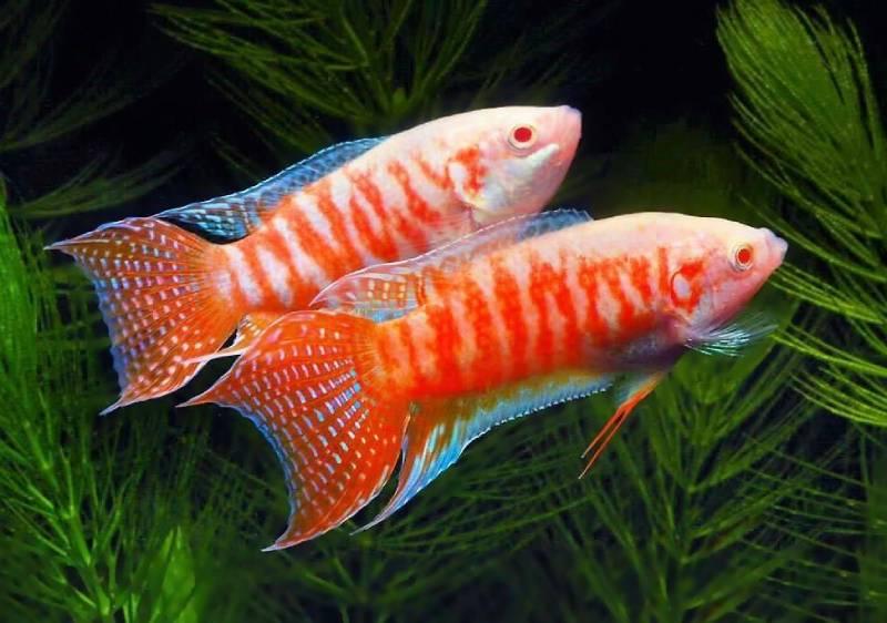 Макропод: лабиринтовые рыбы