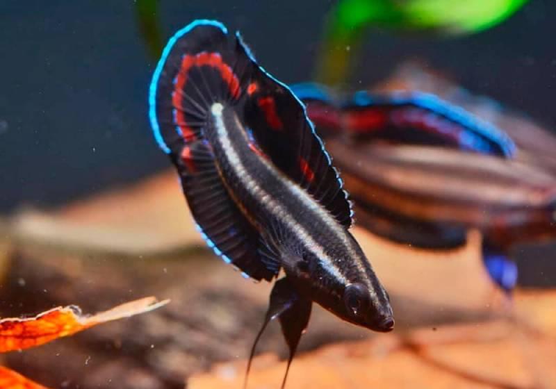 Паросфроменус Твиди: анабасовые рыбки