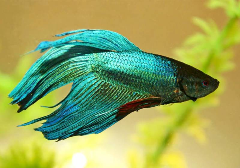 Сиамский петушок: лабиринтовые рыбки