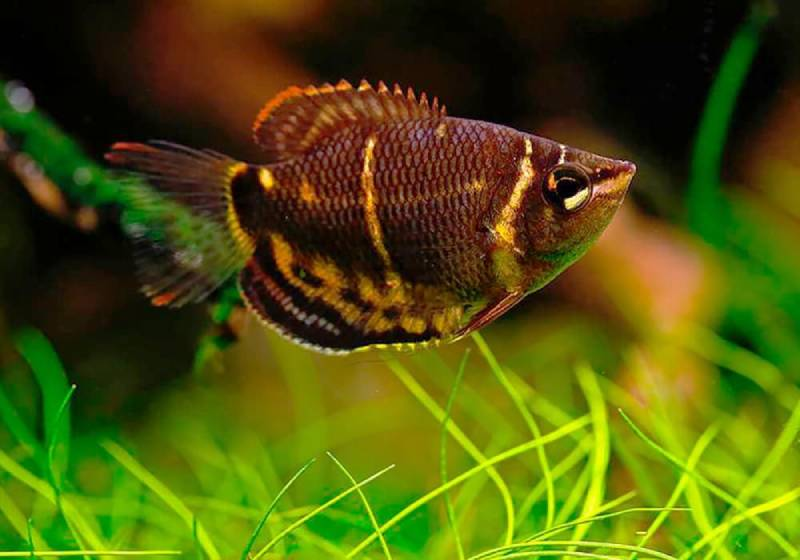 Шоколадный гурами: лабиринтовые рыбки