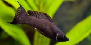 Черная моллинезия: содержание в аквариуме, виды