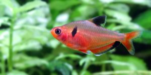 Рыбка Минор или Тетра Серпас