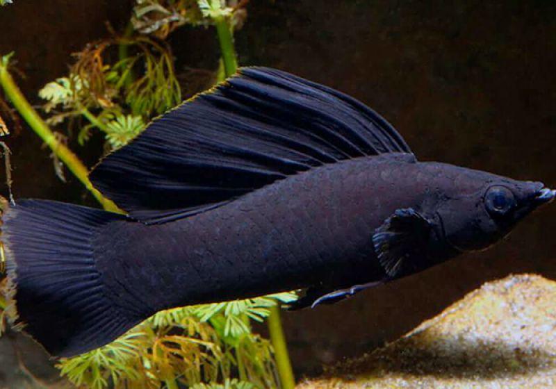 Черная моллинезия Велифера нигра (парусная)