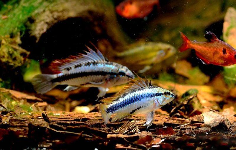 Минор рыбка (Hyphessobrycon minor)
