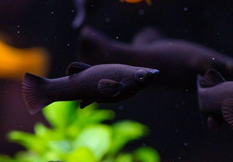 Черная моллинезия Сфенопс. Black Molly