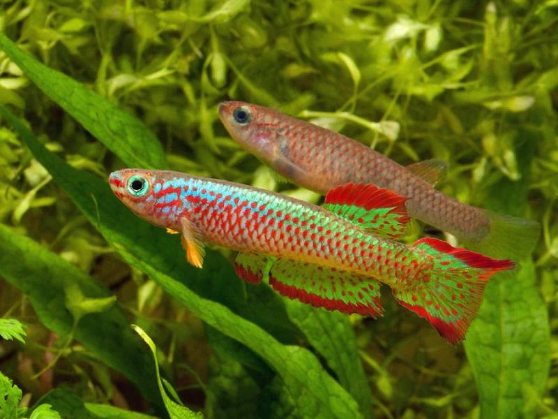 Aphyosemion Самка и самец