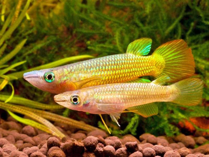 Линеатус самка и самец