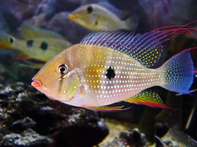 Акарихтис хеккеля (Acarichthys heckelii). Цихлиды Южной Америки