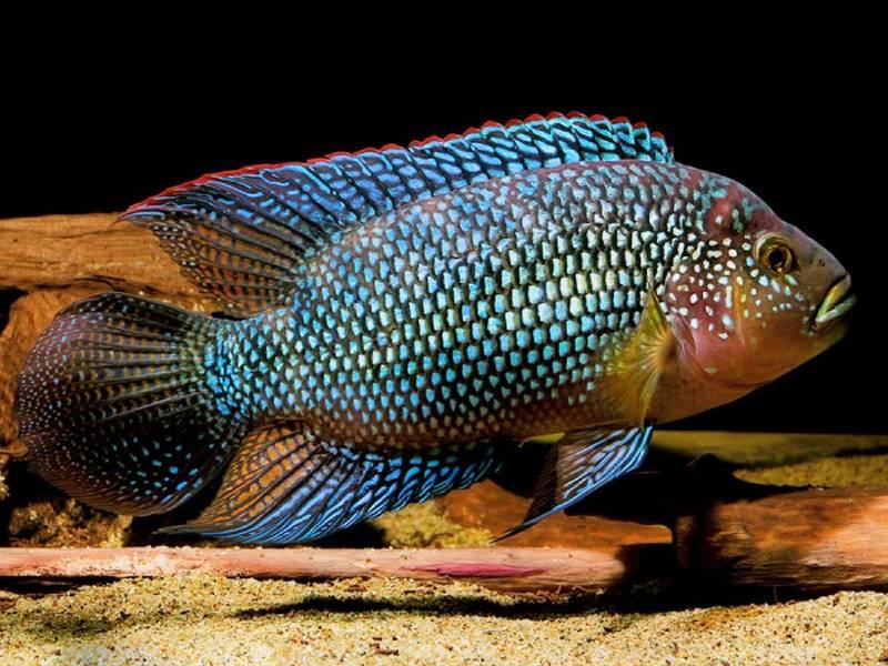 Цихлазома восьмиполосая (Цихлида Джека Демпси) (Rocio octofasciata). Центральная Америка