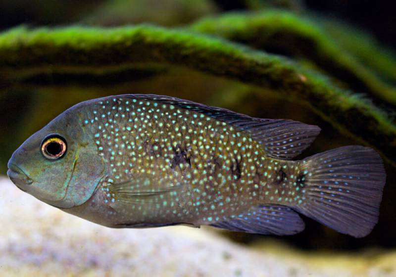 Герихтис тамасопоензис (Herichthys tamasopoensis)