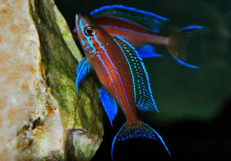 """Парациприхромис нигрипиннис (Paracyprichromis nigripinnis """" blue neon""""). Озеро Танганьика"""