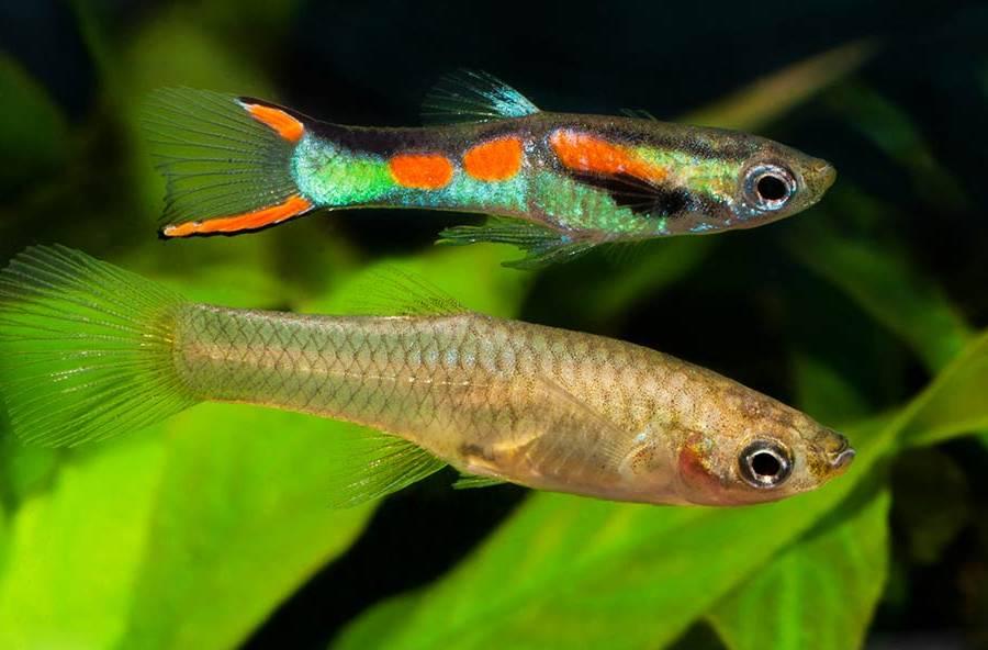 Гуппи эндлера самка и самец