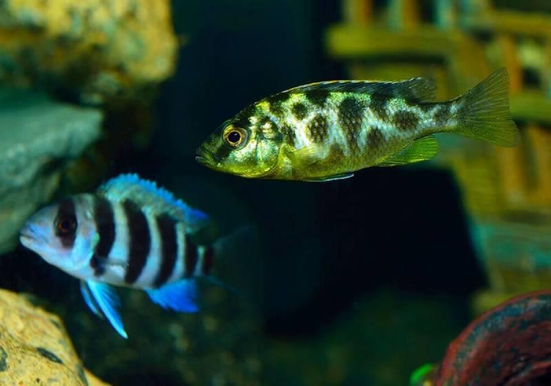 Нимбохромис вистус золотой леопард (Nimbochromis venustus)ю Цихлиды группы утака