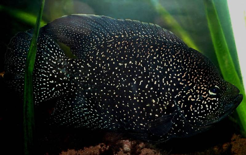 Паратиляпия Полени (Paratilapia polleni). Цихлиды Центральной и Западной Африки