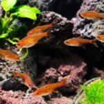 Тетра Аманды (Hyphessobrycon amandae)