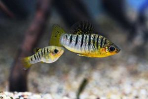 Рыбка Лимия: содержание, разведение, виды