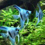 Скалярия голубая
