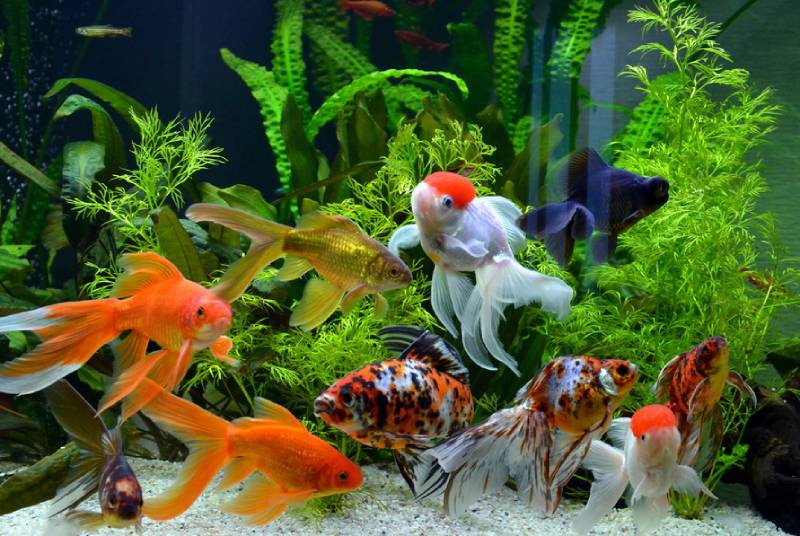 Золотые рыбки в аквариуме. Семейство карповых