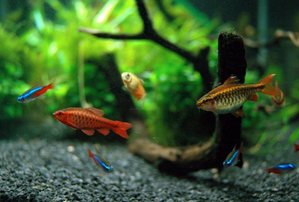 Рыбки в аквариуме. Вишневый барбус и неоны. Семейство карповых