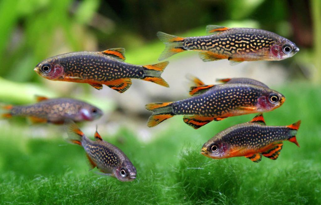Микрорасбора галактика. Аквариумные рыбки. Семейство карповых