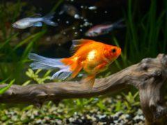 Золотые рыбки в аквариуме